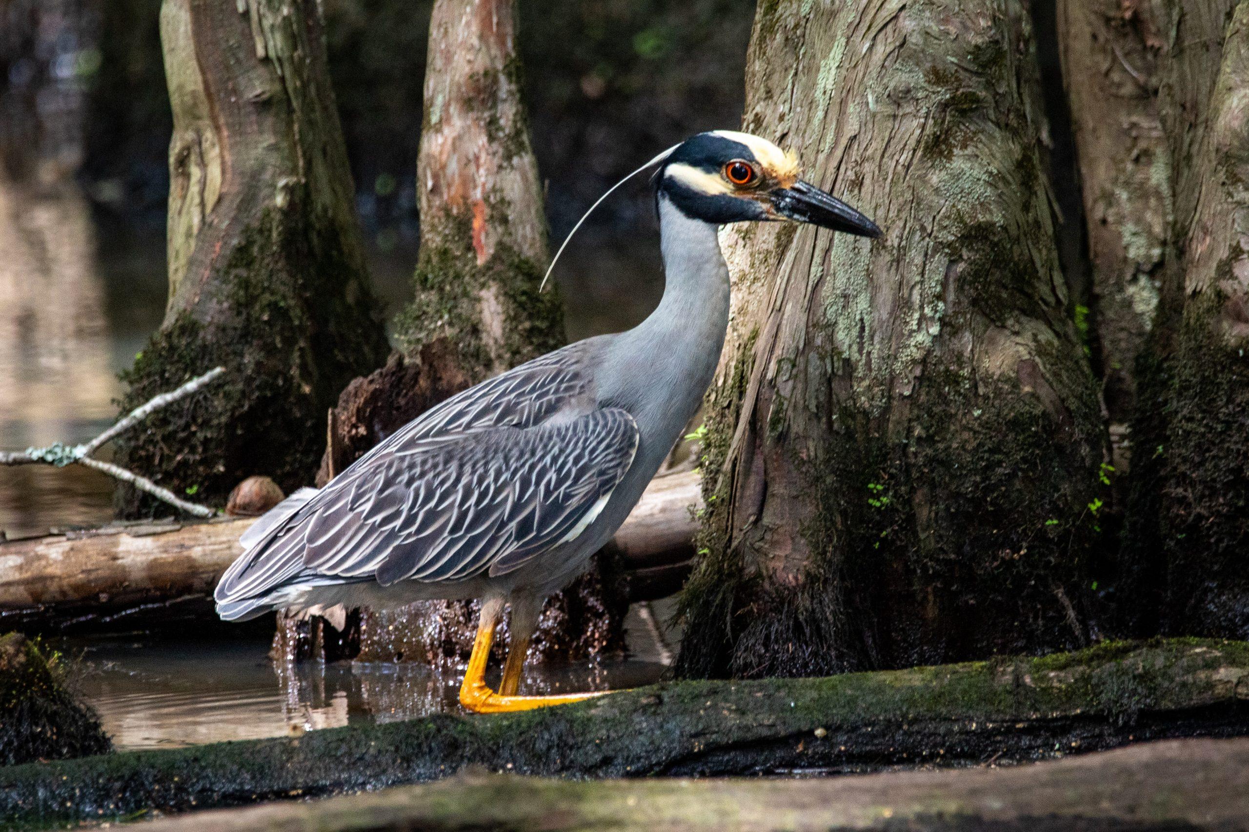 yelllow crowned night heron